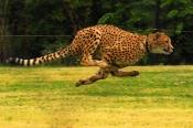 011-Cheetahs2011-047